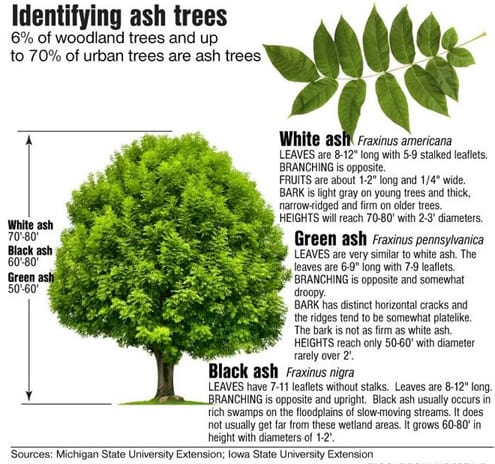 Emerald Ash Borer And Ash Tree Identification Mauget