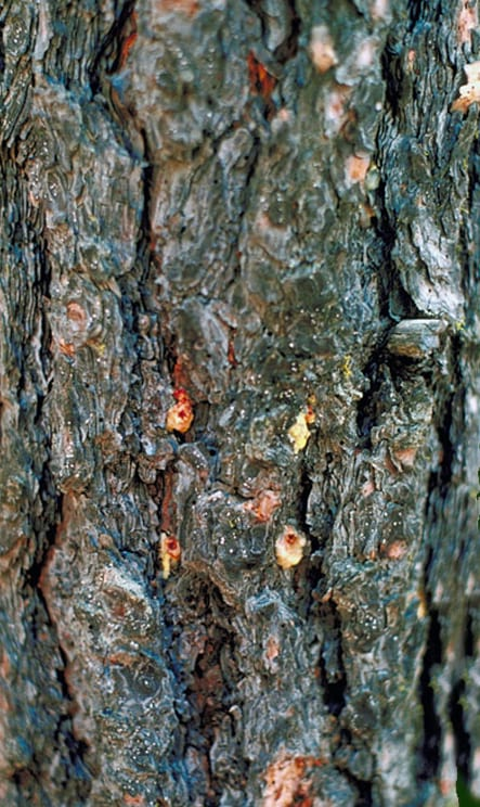 mountain pine beetle research paper In this paper a dispersal-attack theory for college of agriculture research center yearly trend of a mountain pine beetle infestation near.